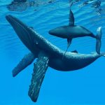 -حوت-ومعلومات-كاملة-عن-حياة-الحوت-صور-ميكس-12-150x150 صور حوت ومعلومات كاملة عن حياة الحوت