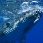 -حوت-ومعلومات-كاملة-عن-حياة-الحوت-صور-ميكس-13-150x150 صور حوت ومعلومات كاملة عن حياة الحوت