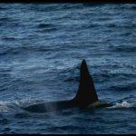 -حوت-ومعلومات-كاملة-عن-حياة-الحوت-صور-ميكس-15-150x150 صور حوت ومعلومات كاملة عن حياة الحوت