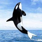 -حوت-ومعلومات-كاملة-عن-حياة-الحوت-صور-ميكس-21-150x150 صور حوت ومعلومات كاملة عن حياة الحوت