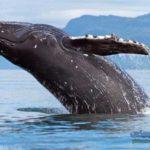 -حوت-ومعلومات-كاملة-عن-حياة-الحوت-صور-ميكس-24-150x150 صور حوت ومعلومات كاملة عن حياة الحوت