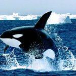 -حوت-ومعلومات-كاملة-عن-حياة-الحوت-صور-ميكس-3-150x150 صور حوت ومعلومات كاملة عن حياة الحوت
