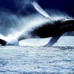 -حوت-ومعلومات-كاملة-عن-حياة-الحوت-صور-ميكس-31-150x150 صور حوت ومعلومات كاملة عن حياة الحوت