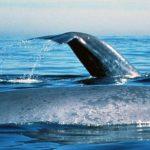-حوت-ومعلومات-كاملة-عن-حياة-الحوت-صور-ميكس-34-150x150 صور حوت ومعلومات كاملة عن حياة الحوت