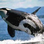 -حوت-ومعلومات-كاملة-عن-حياة-الحوت-صور-ميكس-42-150x150 صور حوت ومعلومات كاملة عن حياة الحوت