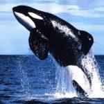 -حوت-ومعلومات-كاملة-عن-حياة-الحوت-صور-ميكس-5-150x150 صور حوت ومعلومات كاملة عن حياة الحوت
