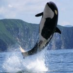 -حوت-ومعلومات-كاملة-عن-حياة-الحوت-صور-ميكس-6-150x150 صور حوت ومعلومات كاملة عن حياة الحوت