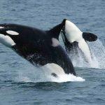 -حوت-ومعلومات-كاملة-عن-حياة-الحوت-صور-ميكس-8-150x150 صور حوت ومعلومات كاملة عن حياة الحوت