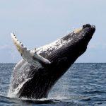 -حوت-ومعلومات-كاملة-عن-حياة-الحوت-صور-ميكس-9-150x150 صور حوت ومعلومات كاملة عن حياة الحوت
