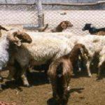 خروف ومعلومات عن الخروف وأنواعة صور ميكس 30