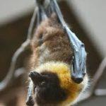 خفاش تعرف على حياة الخفاش وأنوعها صور ميكس 11