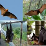-خفاش-تعرف-على-حياة-الخفاش-وأنوعها-صور-ميكس-12-150x150 صور خفاش تعرف على حياة الخفاش وأنوعها