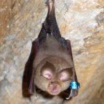 -خفاش-تعرف-على-حياة-الخفاش-وأنوعها-صور-ميكس-13-150x150 صور خفاش تعرف على حياة الخفاش وأنوعها
