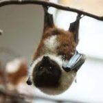 خفاش تعرف على حياة الخفاش وأنوعها صور ميكس 14