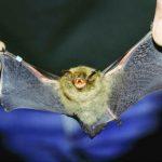 -خفاش-تعرف-على-حياة-الخفاش-وأنوعها-صور-ميكس-18-150x150 صور خفاش تعرف على حياة الخفاش وأنوعها