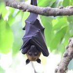 خفاش تعرف على حياة الخفاش وأنوعها صور ميكس 2