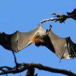 -خفاش-تعرف-على-حياة-الخفاش-وأنوعها-صور-ميكس-21-150x150 صور خفاش تعرف على حياة الخفاش وأنوعها