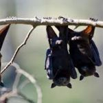 خفاش تعرف على حياة الخفاش وأنوعها صور ميكس 25