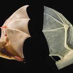 -خفاش-تعرف-على-حياة-الخفاش-وأنوعها-صور-ميكس-27-150x150 صور خفاش تعرف على حياة الخفاش وأنوعها