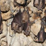 خفاش تعرف على حياة الخفاش وأنوعها صور ميكس 28