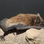 خفاش تعرف على حياة الخفاش وأنوعها صور ميكس 30