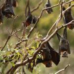 خفاش تعرف على حياة الخفاش وأنوعها صور ميكس 33