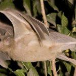 -خفاش-تعرف-على-حياة-الخفاش-وأنوعها-صور-ميكس-34-150x150 صور خفاش تعرف على حياة الخفاش وأنوعها