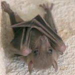 خفاش تعرف على حياة الخفاش وأنوعها صور ميكس 36