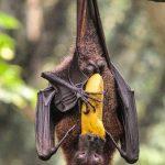 خفاش تعرف على حياة الخفاش وأنوعها صور ميكس 38
