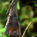 خفاش تعرف على حياة الخفاش وأنوعها صور ميكس 41