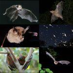خفاش تعرف على حياة الخفاش وأنوعها صور ميكس 44