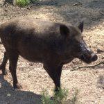 خنزير تعرف على أنواع الخنازير وحياتها صور ميكس 1