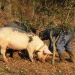 خنزير تعرف على أنواع الخنازير وحياتها صور ميكس 11