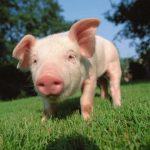 خنزير تعرف على أنواع الخنازير وحياتها صور ميكس 14