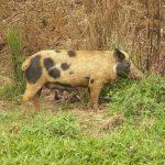 خنزير تعرف على أنواع الخنازير وحياتها صور ميكس 15