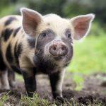 خنزير تعرف على أنواع الخنازير وحياتها صور ميكس 21