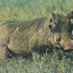 خنزير تعرف على أنواع الخنازير وحياتها صور ميكس 22