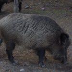 خنزير تعرف على أنواع الخنازير وحياتها صور ميكس 28