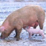 خنزير تعرف على أنواع الخنازير وحياتها صور ميكس 3