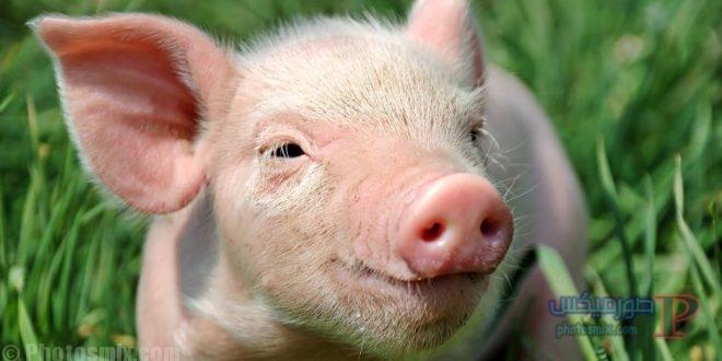 خنزير تعرف على أنواع الخنازير وحياتها صور ميكس 32