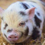 خنزير تعرف على أنواع الخنازير وحياتها صور ميكس 37