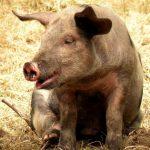خنزير تعرف على أنواع الخنازير وحياتها صور ميكس 38