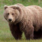 دب 2019 معلومات كاملة عن الدب صور ميكس 1
