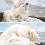دب 2019 معلومات كاملة عن الدب صور ميكس 12