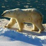 دب 2019 معلومات كاملة عن الدب صور ميكس 15