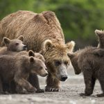 دب 2019 معلومات كاملة عن الدب صور ميكس 29