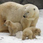 دب 2019 معلومات كاملة عن الدب صور ميكس 32
