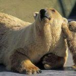 دب 2019 معلومات كاملة عن الدب صور ميكس 34