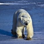 دب 2019 معلومات كاملة عن الدب صور ميكس 43