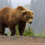 دب 2019 معلومات كاملة عن الدب صور ميكس 6